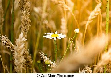 デイジー, 花, 中に, a, wheet, フィールド