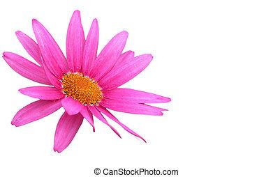 デイジー, 隔離された, 花, 紫色, 白