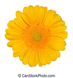 デイジー, 隔離された, gerbera, 黄色の花, 白