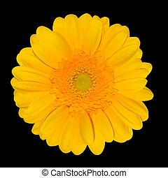 デイジー, 頭, 黒, 隔離された, gerbera, 黄色の花