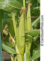 トウモロコシの 茎