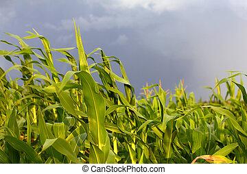 トウモロコシ, 吹く, 嵐, 茎