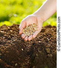 トウモロコシ, 種まき, 手