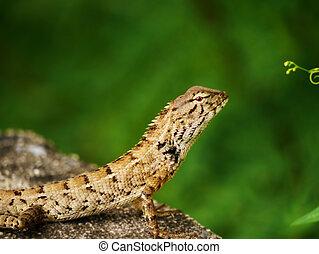 トカゲ, iguana, gecko, skink
