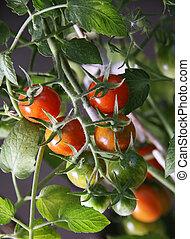 トマト, さくらんぼ, 庭