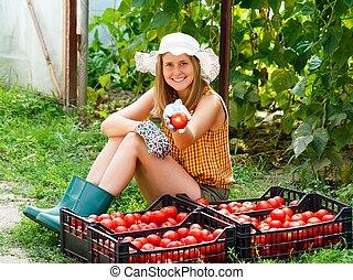 トマト, 収穫