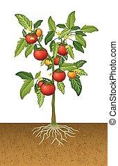 トマト, 地面, 下に, 根, 植物