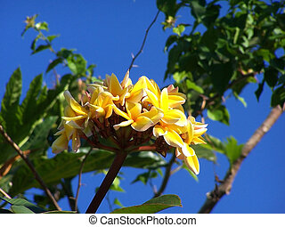 トロピカル, flower., ボーダー, エステ, plumeria., frangipani