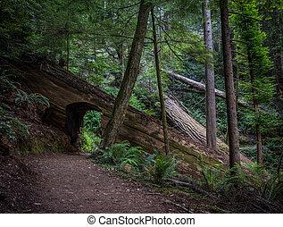 トンネル, によって, 歩くこと, 木, イチイモドキ