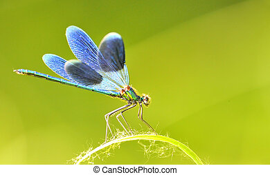 トンボ, 屋外, splendens), (coleopteres