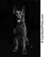 ドイツ 羊飼い, 黒, モデル