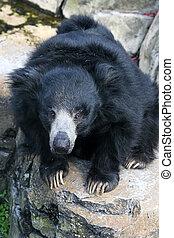 ナマケモノ, 熊
