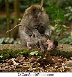 ニホンザル, lousing, 猿