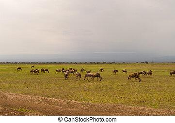 ニュー, 群れ, 牧草, 中に, ∥, サバンナ, の, amboseliau, kenya