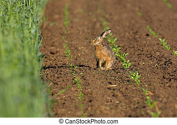 ノウサギ, 中に, a, フィールド