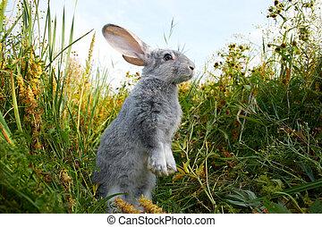 ノウサギ, 用心深い