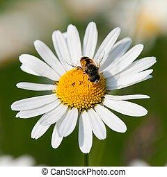 ハエ, 花, モデル, 共通, デイジー, 白
