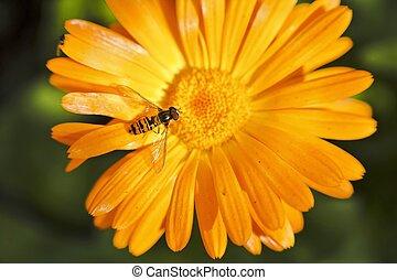 ハエ, 花, syrphid, calendula, ∥あるいは∥, hoverfly