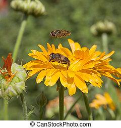 ハエ, hoverfly, 庭, ポット, 日当たりが良い, 浮かぶこと, 他, の上, オレンジ, マリーゴールド