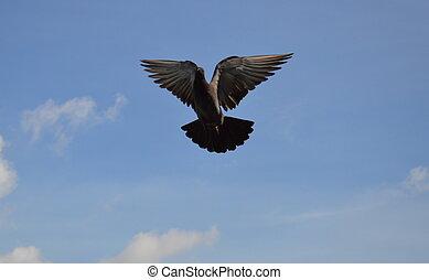 ハト, 飛行