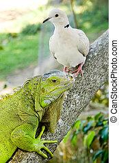 ハト, iguana