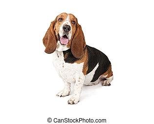 バセット犬, 見る, 猟犬, 犬, 側