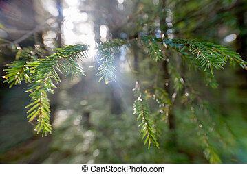 バックグラウンド。, もみの 木, ブランチ, ∥で∥, 露が落ちる, 上に, a, ぼやけた背景, の, 日光
