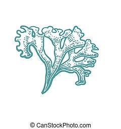 バックグラウンド。, 珊瑚, ベクトル, 隔離された, 白