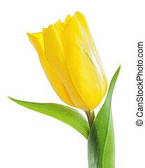 バックグラウンド。, 白, 隔離された, 黄色いチューリップ