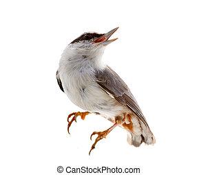 バックグラウンド。, nutcracker, 白, 隔離された, 鳥