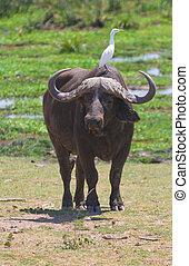 バッファロー, ∥において∥, amboseli 国立公園, kenya