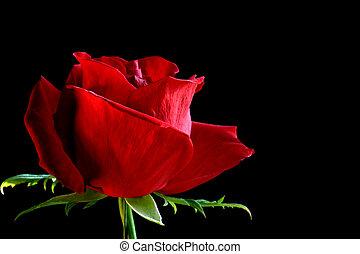 バラのつぼみ, 赤