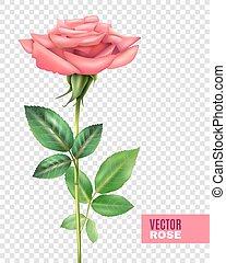 バラ, セット, 透明, 花弁