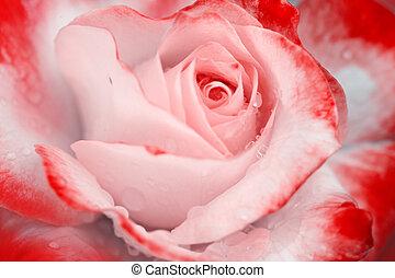バラ, 低下, の上, .birthday, card., 水, ピンク, 終わり
