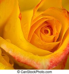 バラ, 低下, の上, .birthday, card., 水, 黄色, 終わり