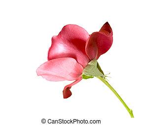 バラ, 単一, 赤い茎