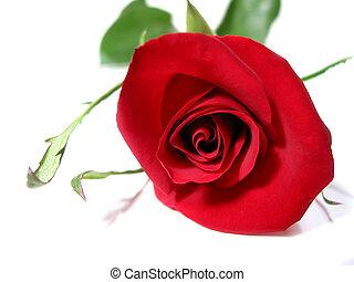 バラ, 白い赤, 背景