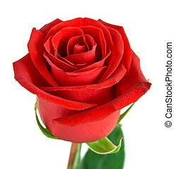 バラ, 葉, 緑の赤