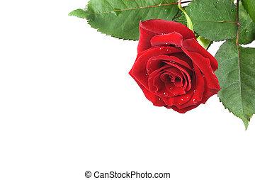 バラ, 赤い背景