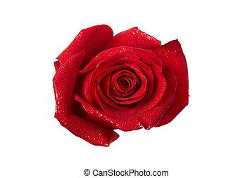 バラ, 赤