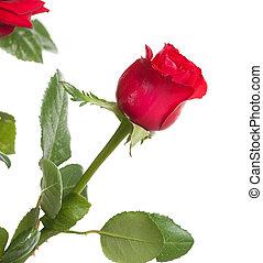 バラ, 赤, 1(人・つ)
