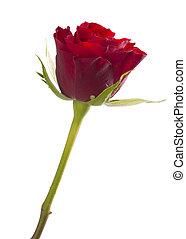 バラ, 隔離された, 赤, 1(人・つ)