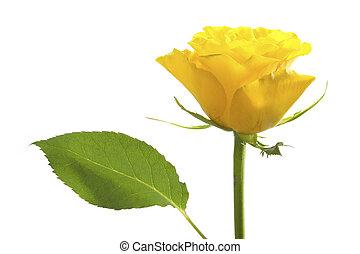 バラ, 隔離された, 黄色, 1(人・つ)