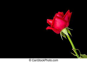 バラ, 黒い赤, バックグラウンド。