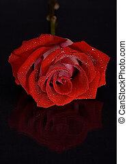 バラ, 黒い赤, 背景