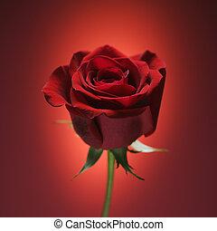 バラ, red., 赤