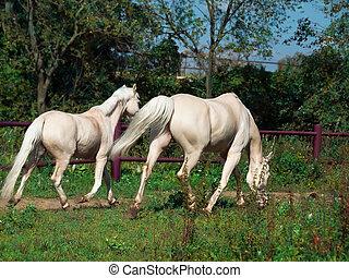 パドック, 馬, 子馬, 動くこと, palomino