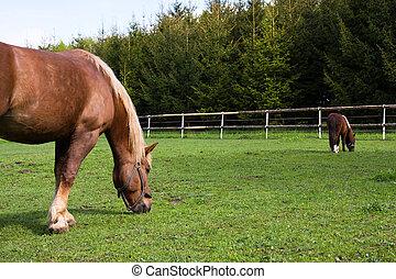パドック, 馬, 子馬, 牧草地