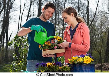 パンジー, 恋人, 水まきは 開花する