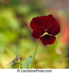 パンジー, -, 花, 園芸, 赤